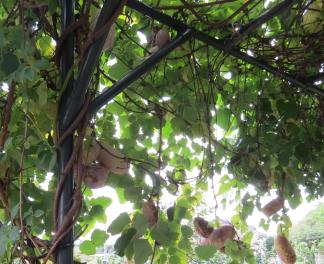アケビの木と実10月