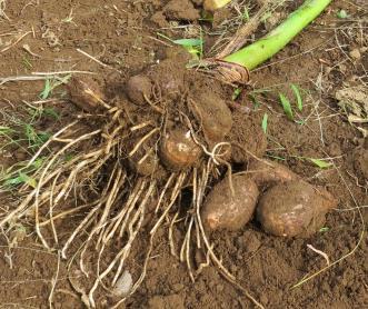 サトイモの掘り出し株