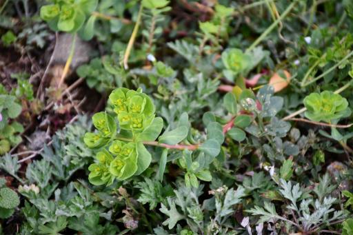 202300310・ニコン狭山湖植物12・トウダイグサ