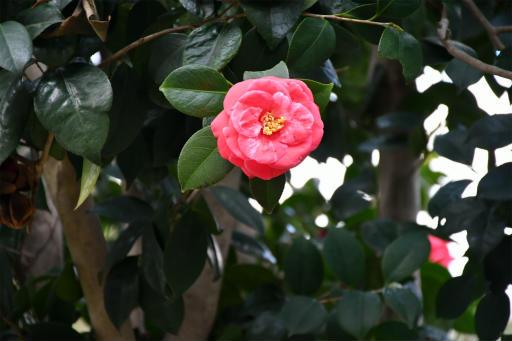 202300310・ニコン狭山湖植物18・ヤマツバキ