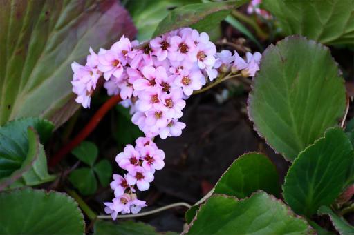 202300310・ニコン狭山湖植物24・ヒマラヤユキノシタ