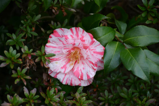 202300310・ニコン狭山湖植物21・オトメツバキ