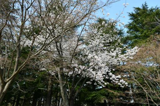20200321・墓参り野川公園2-02