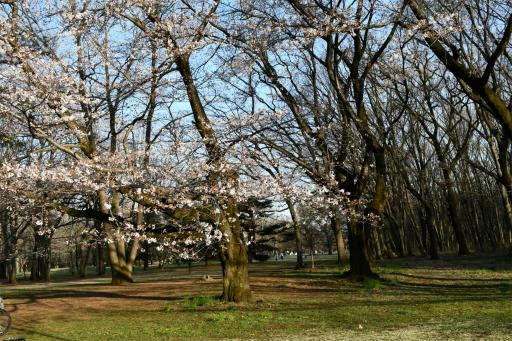 20200321・墓参り野川公園3-19・サクラ