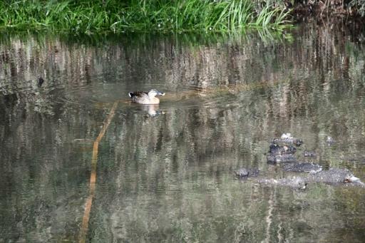 20200321・墓参り野川公園鳥拡大2・カモさん