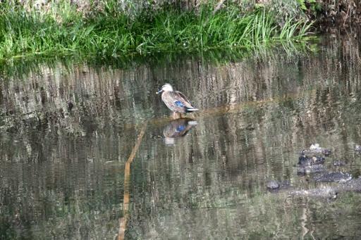 20200321・墓参り野川公園鳥拡大1・かがみ池のカモさん