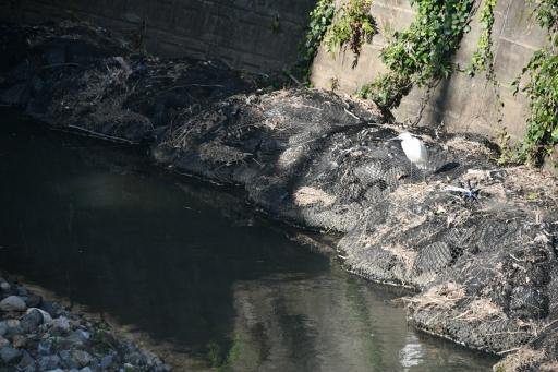 20200326・今日は荒幡富士散歩とっておき・白鷺、何思う