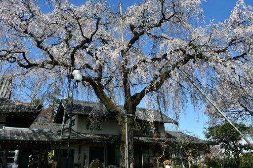 20200324・金仙寺と狭山湖とっておき2・金仙寺、タヌキと桜