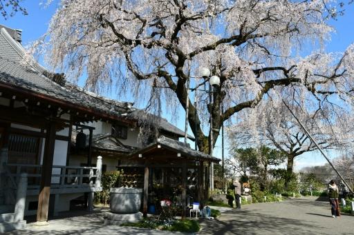 20200324・金仙寺と狭山湖とっておき1・金仙寺、しだれ桜