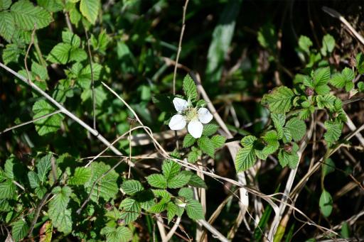 20200321・墓参り野川公園植物06・カジイチゴ