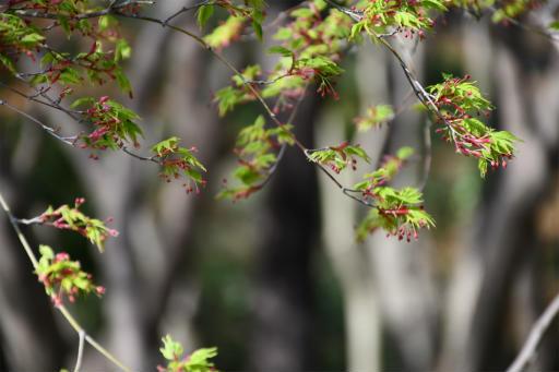 20200321・墓参り野川公園植物09・イロハモミジ