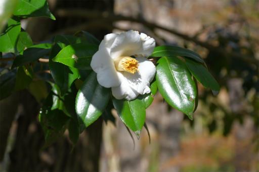 20200321・墓参り野川公園植物10・シロヤブツバキ