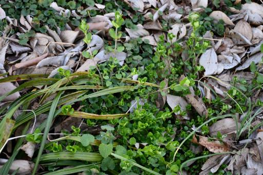 20200321・墓参り野川公園植物23・ヤマネコノメ