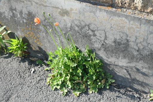 20200326・今日は荒幡富士散歩植物5・ナガミヒナゲシ