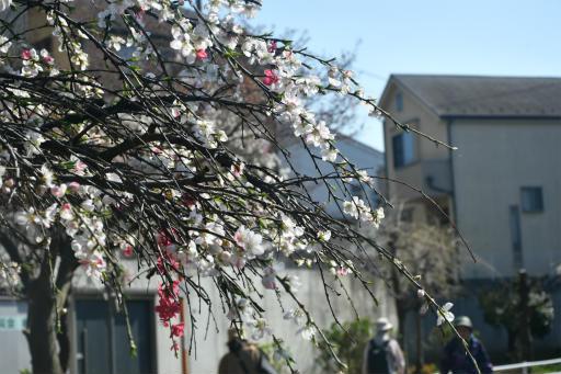 20200326・今日は荒幡富士散歩植物1・ハナモモ
