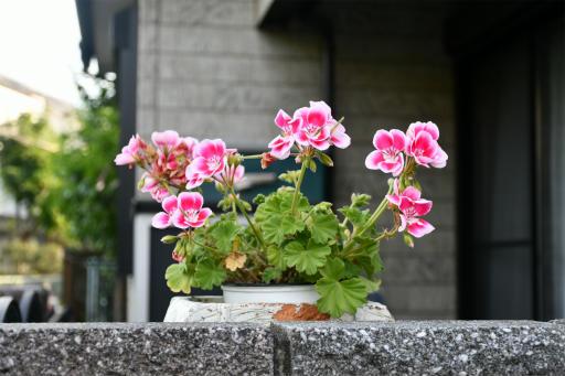 20200514・近所の植物06・ゼラニウム