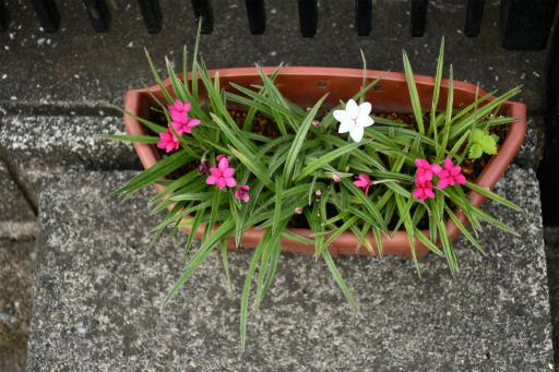 20200514・近所の植物05・アッツザクラ