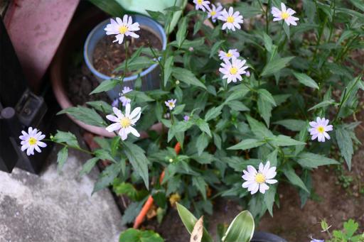 20200514・近所の植物01・ミヤコワスレ
