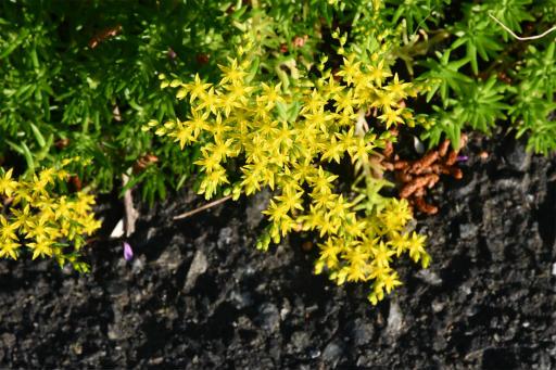 20200514・近所の植物12・マンネングサ
