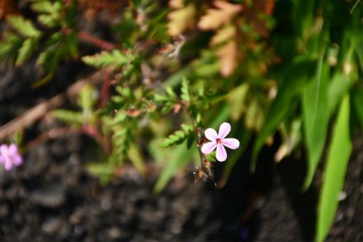 20200514・近所の植物11・ヒメフウロ
