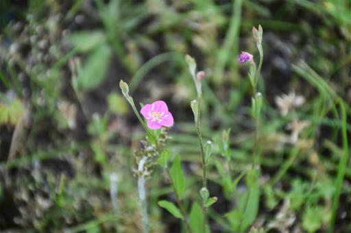 20200514・近所の植物10・アカバナユウゲショウ