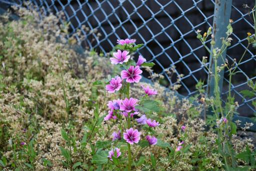 20200514・近所の植物09・ゼニアオイ
