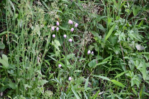 20200514・近所の植物07・キツネアザミ
