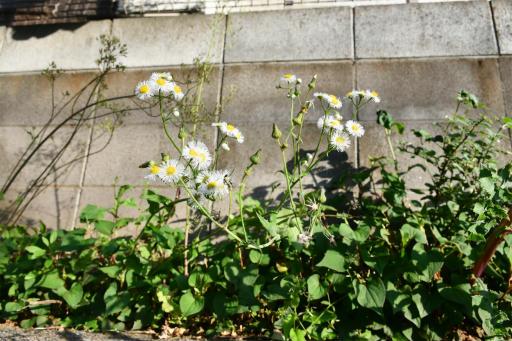 20200514・近所の植物08・ヒメジョオン&オニノゲシ