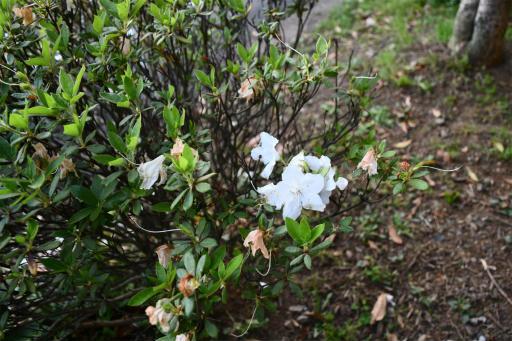 20200514・近所の植物17・シロバナオオヤマツツジ
