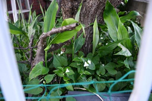 20200514・近所の植物15・トキワツユクサ