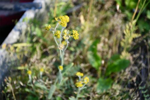 20200514・近所の植物16・ハハコグサ