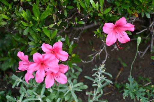 20200514・近所の植物13・サツキ