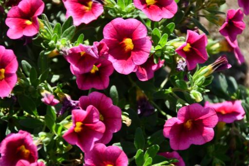 20200529・派遣登録散歩植物06・カリブラコアストロベリー