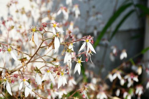 20200529・派遣登録散歩植物11・ユキノシタ