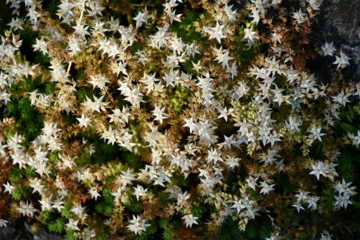 20200529・派遣登録散歩植物17・シンジュボシマンネングサ