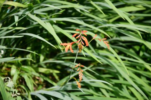 20200609・派遣の日に見た植物1・ヒメヒオウギズイセン