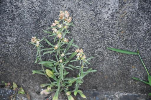 20200608・派遣前に見た植物9・チチコグサ
