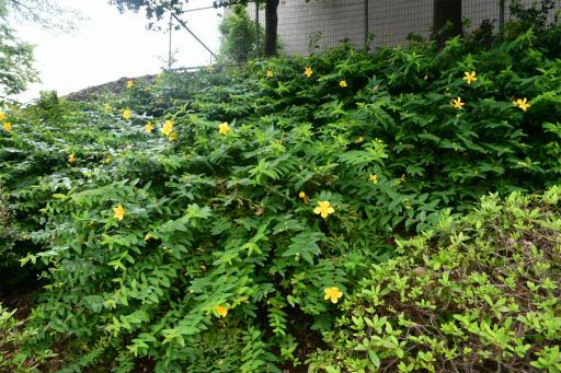 20200620・仕事休みの散歩1-09・黄色い花は何かな?