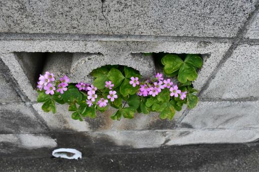 20200620・仕事休みの散歩植物06・ムラキカタバミ