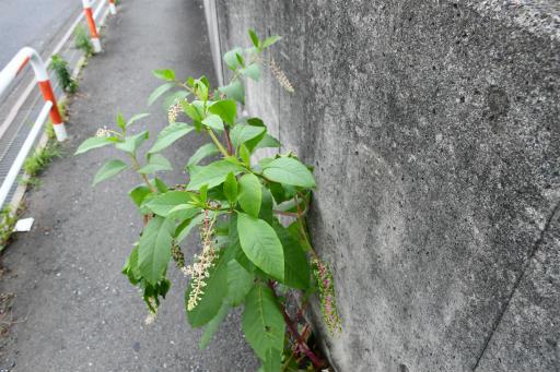 20200620・仕事休みの散歩植物07・ヨウシュヤマゴボウ