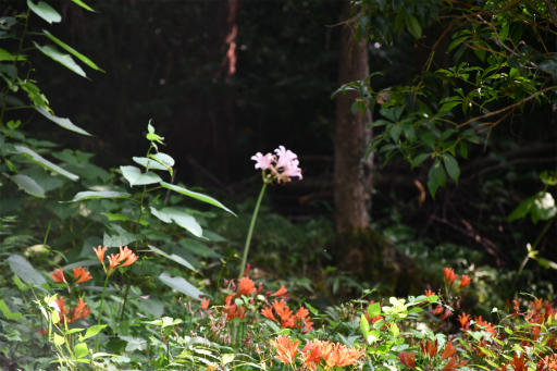 20200809・近所植物秩父&山梨2-06・ナツズイセン