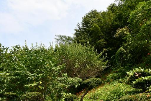 20200809・近所植物秩父&山梨空05・キツネノカミソリ