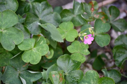 20200822・夏の終わり植物06・ムラサキカタバミ