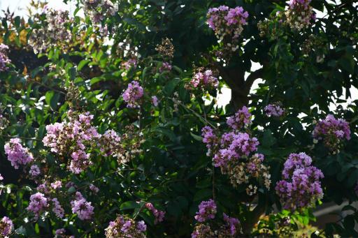 20200822・夏の終わり植物02・サルスベリ