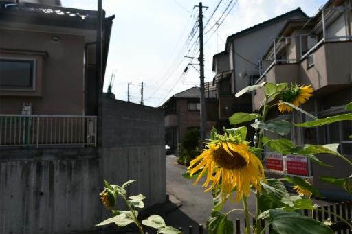 20200822・夏の終わり植物09・ヒマワリ