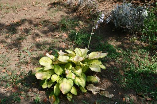 20200822・夏の終わり植物08・オオバギボウシ