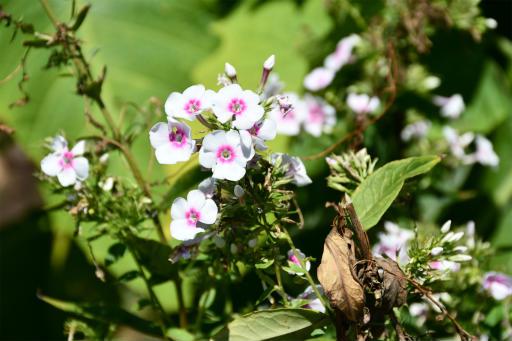 20200904・病院で健診植物05・クサキョウチクトウ(白花)