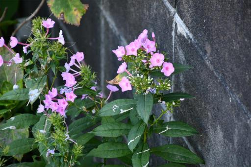 20200904・病院で健診植物12・クサキョウチクトウ(ピンク)