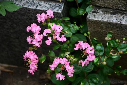 20200919・多磨霊園植物17・サルスベリ