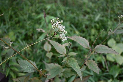 20200919・多磨霊園植物16・ヒヨドリバナ